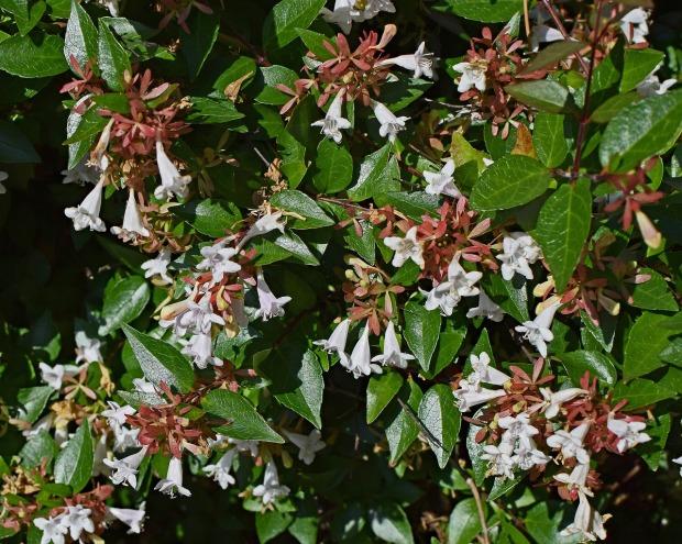 abelia-grandiflora-2416375_1280