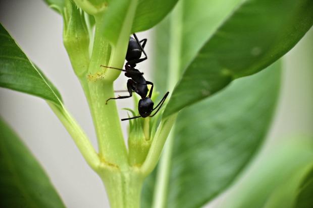black-ant-3519676_1280