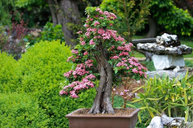 bonsai-3125717_1280