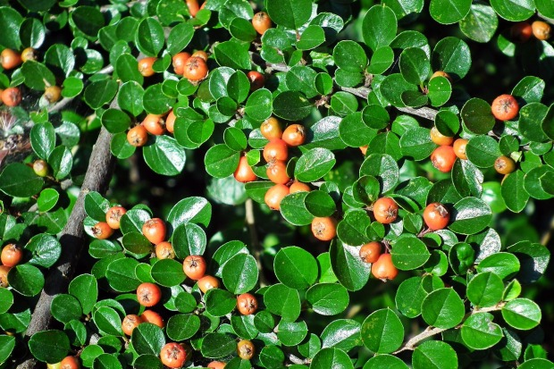 cotoneaster-3575257_1280
