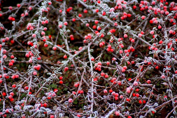 cotoneaster-3949160_1280
