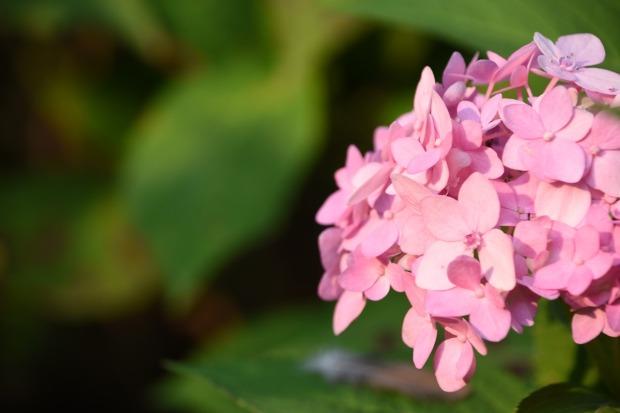 hydrangea-viburnum-2755774_1280