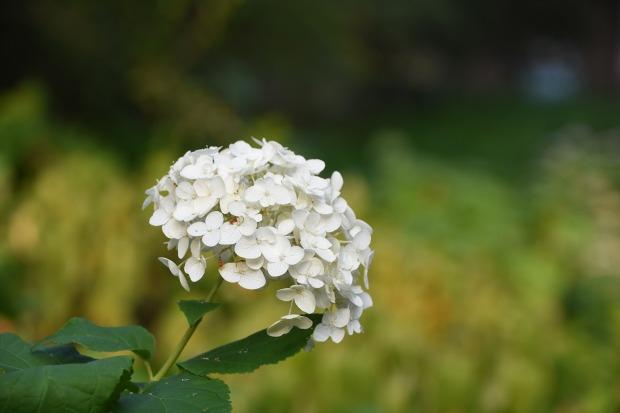 hydrangea-viburnum-2755821_1280