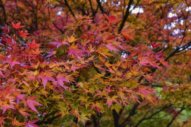 japanese-maple-1892821_1280