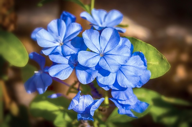 jasmine-blue-3687457_1280