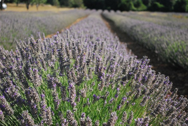 lavender-2732063_1280