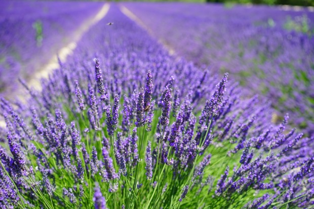 lavender-cultivation-2138398_1280