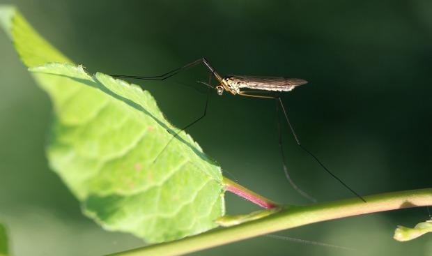 mosquito-3842350_1280
