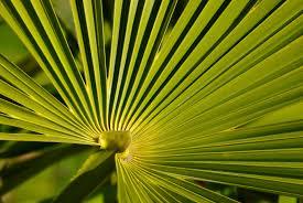 palmiero