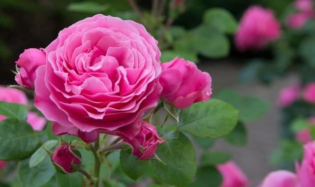 rose-3370605_1280