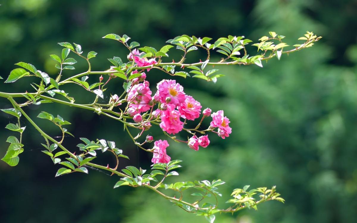 Couper Les Rosiers En Octobre comment faire une bouture de rosier? – le-blog-de-la-maison