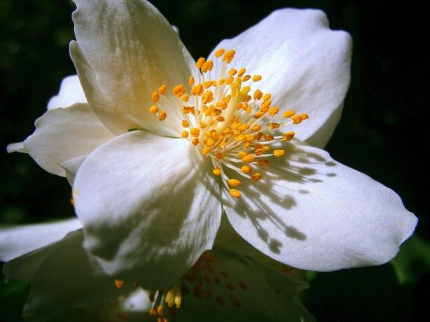 summer-jasmine-356222_1280