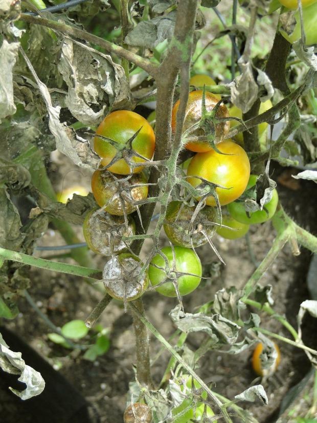 tomato-608290_1280(2)
