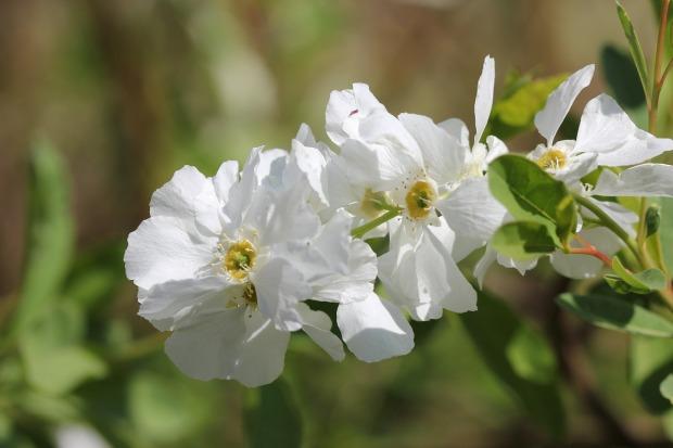 wild-jasmine-6814_1280