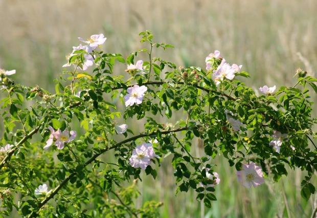 wild-rose-3454905_1280