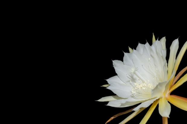 epiphyllum-2442129_1280