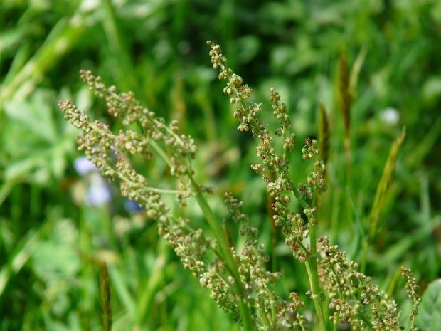meadows-sauerampfer-54055_1280