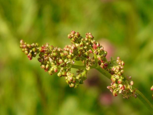 meadows-sauerampfer-54056_1280