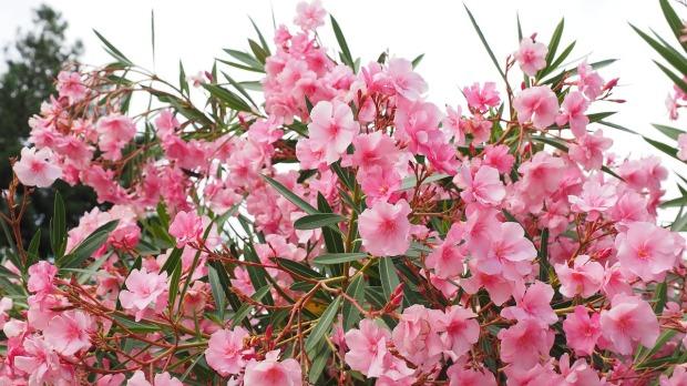 oleander-1521526_1280
