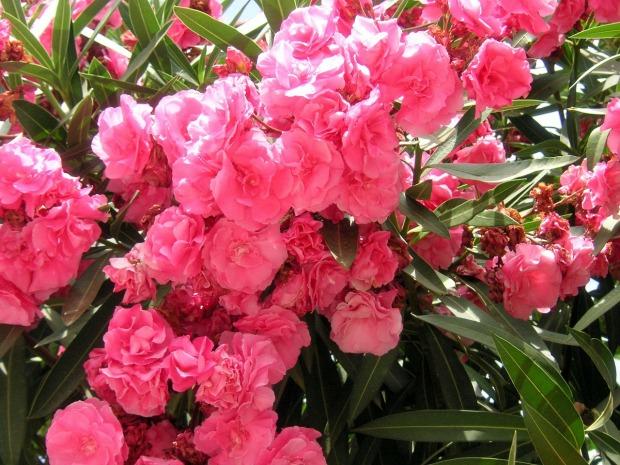 oleanders-262986_1280