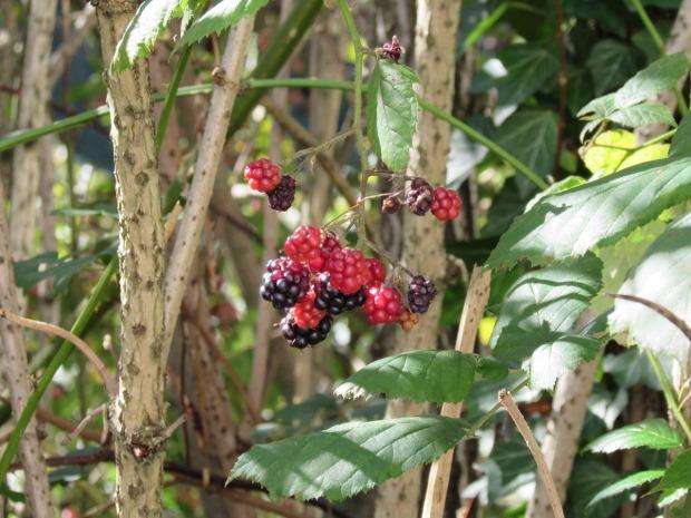 wild-raspberry-462390_1280
