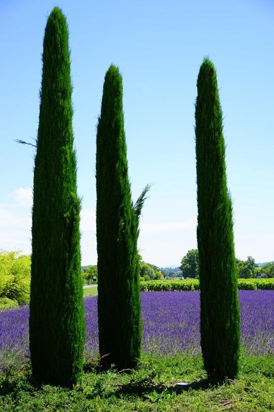 cypress-1595476_1280