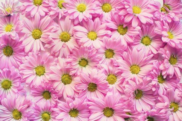 pink-daisies-2121591_1280