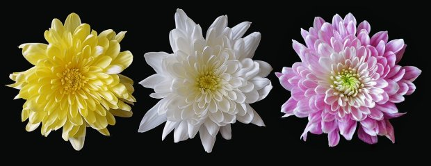 chrysanthemum-2187964_1280